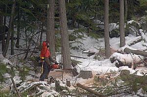 Fun Facts - Felling a Tree in Winter